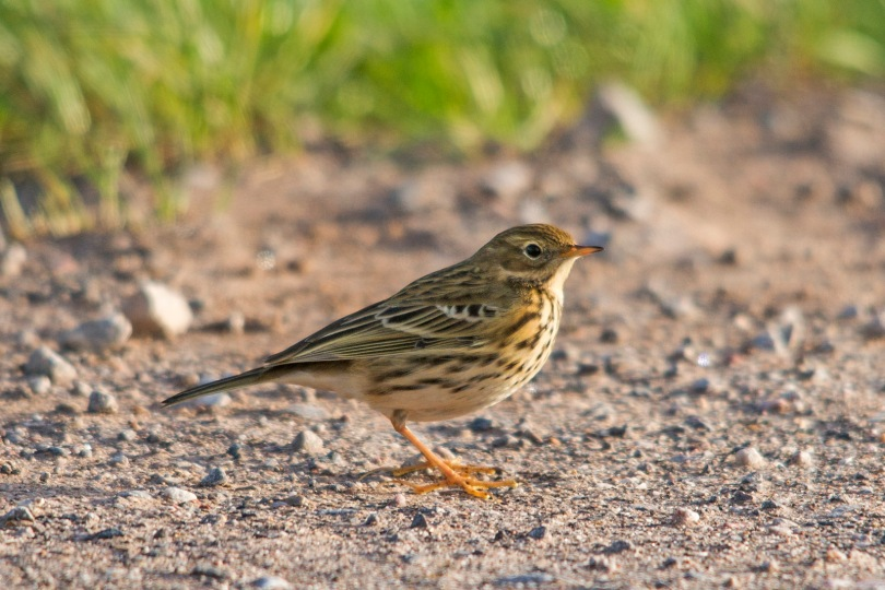 Meadow Pipit in the Road
