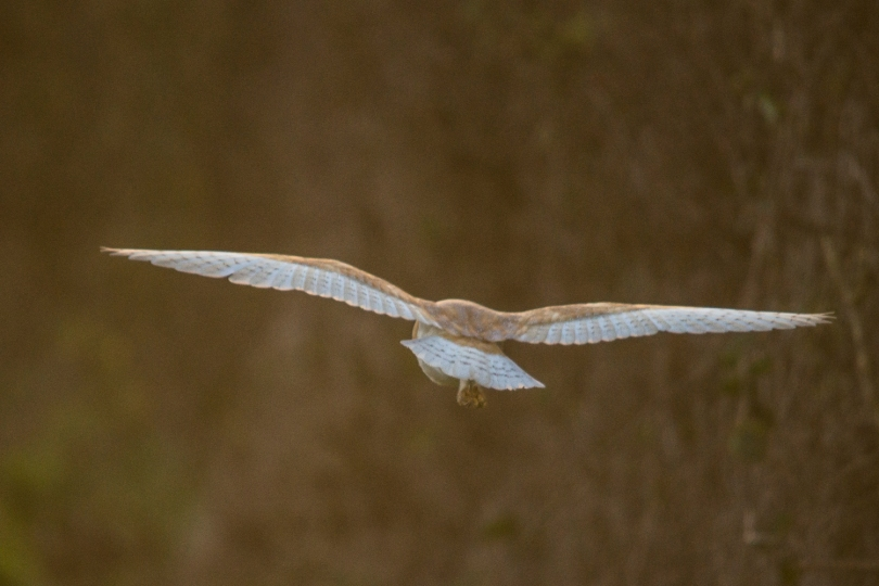 A Departing Barn Owl