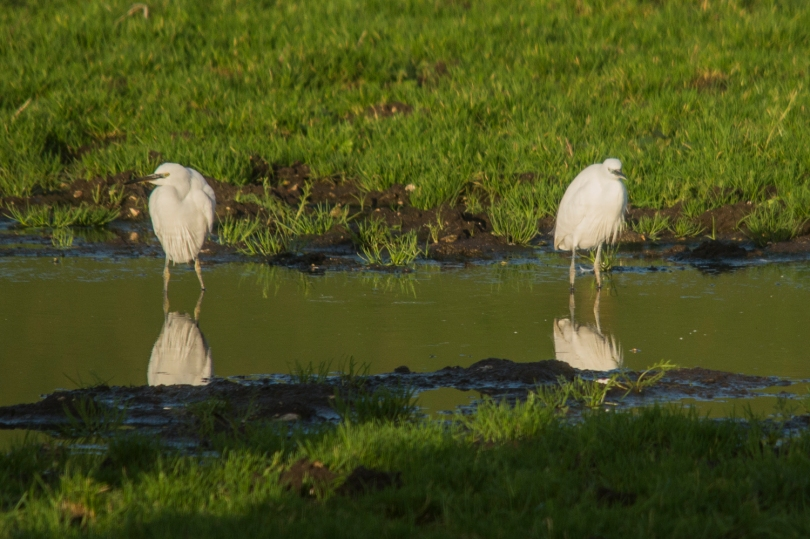 Two of the Fifteen Little Egrets